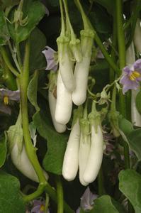 eggplant Gretel