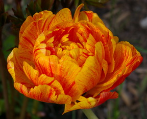 Tulip beauty of Apeldoorn