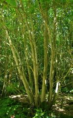Castanea, chestnut