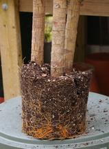 Dracaena root ball