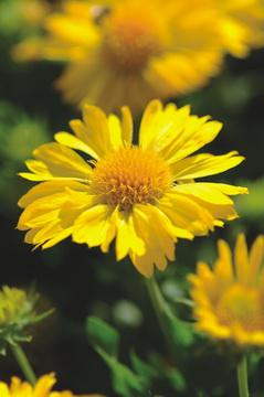 Gaillardia mesa yellow