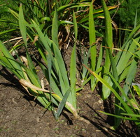 iris clump