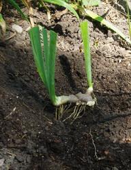 Iris planting