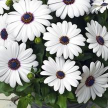 Osteospermum Asti White