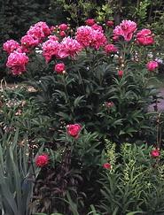 Peony, peonies, double flowered
