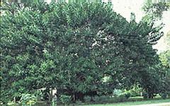 rubber tree, ficus elastica