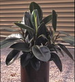 houseplant, rubber tree