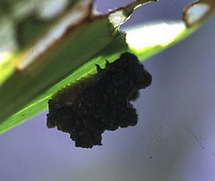 red lily bug larva