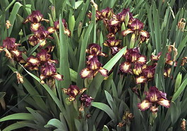 Iris Ruby Eruption