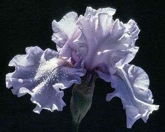 Iris Silverado