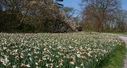 Narcissus,  Daffodils