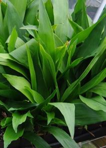 Aspidistra lennons green