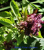 Basil, herb planter