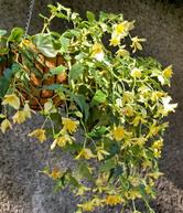 Begonias in a Hanging basket