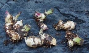 canna rhizomes