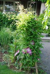 clematis Josephine flowering