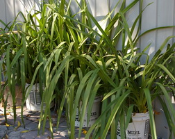 cymbidium foliage