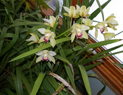 cymbidium flowers