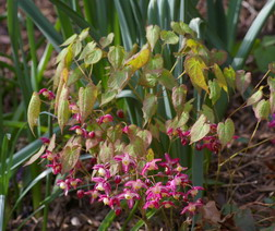 Epimedium, barrenwort