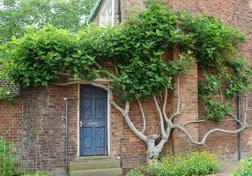 Ficus carica, fig