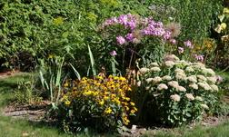 Sedum, perennials, Rudbeckia