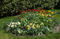 bulbs, narcissus, tulips