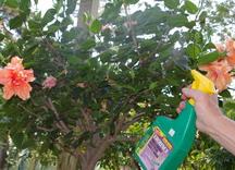 hibiscus, spraying