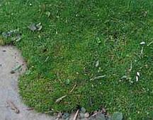 Irish moss, scotch moss