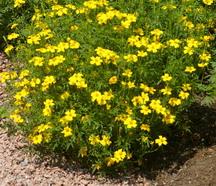Marigold, Lemon Gem