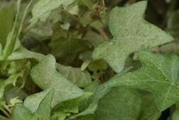 spider mite damage