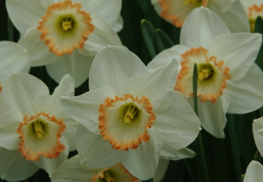 Narcissus pink edge