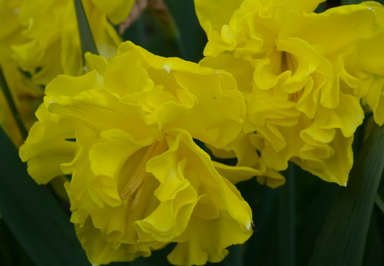 narcissus yellow double