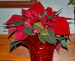 Poinsettia, houseplant, christmas plant