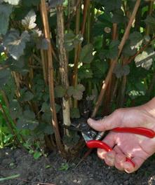 pruning ninebark