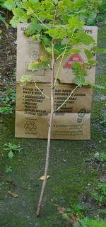 raspberry pruning