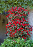 impatiens,  containers