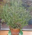 Rosemary,  indoor herbs