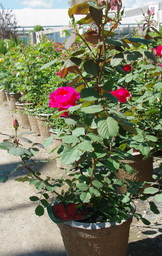 rose winnipeg parks