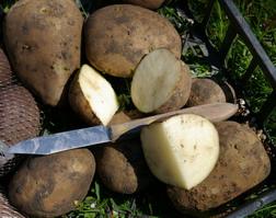 Seed potato,