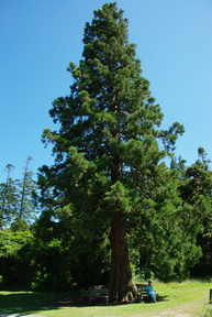 giant redwood,