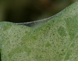 Spider mite webs