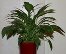 spathiphyllum, house plant