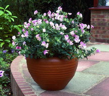 Growing Sweet Pea Containers