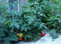 tomatoes container
