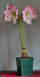 Amaryllis flower