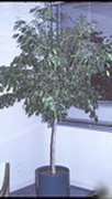 Ficus benjamina, weeping fig