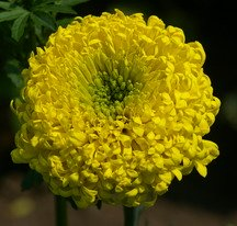 Marigold, crackerjack yellow
