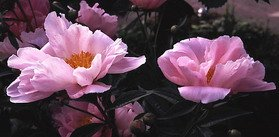Peonies The Long Lived Perennial