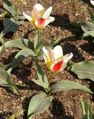 Tulip gregii
