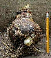 amaryllis, flowering bulb